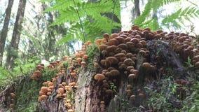 Los racimos grandes de inkcap de hadas del disseminatus de Coprinellus proliferan rápidamente en un tronco de árbol de la descomp metrajes