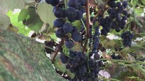 Los racimos maduros de uvas azules cuelgan de la vid almacen de metraje de vídeo