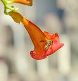Los radicans rojos, anaranjados de Campsis florecen con la abeja, la vid de trompeta o la enredadera de trompeta, también conocid Foto de archivo libre de regalías