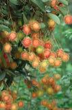 Los rambutans rojos dan fruto rama en árbol en el jardín Imagen de archivo