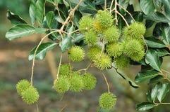Los rambutans verdes jovenes dan fruto rama en árbol en el jardín Fotografía de archivo