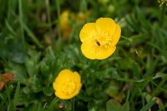 Los ranúnculos florecen entre las cuchillas de la hierba en primavera foto de archivo libre de regalías