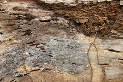 Los rastros de termitas comen en la madera putrefacta vieja Fotos de archivo libres de regalías