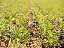 Los rastros en el campo de la primavera del trigo joven Arcilla agrietada seca Fotografía de archivo