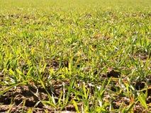Los rastros en el campo de la primavera del trigo joven Arcilla agrietada seca Imágenes de archivo libres de regalías
