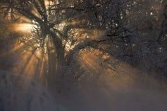 Los rayos de la luz muestran a través entre las ramificaciones cubiertas con sn Foto de archivo libre de regalías