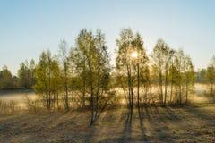 Los rayos de la mañana asolean el brillo a través de árboles y de niebla de abedul en sprin Imágenes de archivo libres de regalías