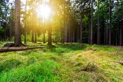 Los rayos de sol vierten a través de árboles en bosque fotografía de archivo libre de regalías