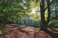 Los rayos de sol vierten a través de árboles en un bosque Imagen de archivo