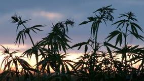 Los rayos de Sun del sol en la puesta del sol brillan a través de las ramas verdes del cáñamo joven Cultivo del cáñamo metrajes