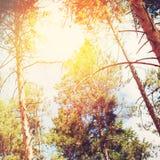 Los rayos de Sun en los tops de árboles coníferos en bosque viejo Imagen de archivo
