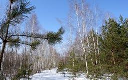 Los rayos de Sun iluminan los árboles del pino y de abedul Foto de archivo libre de regalías