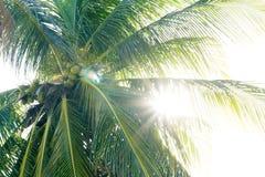 Los rayos del ` s del sol pasan entre las hojas del árbol de coco Imagen de archivo libre de regalías