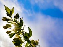Los rayos del sol brillan a través de una rama de un manzano contra un cielo azul fotografía de archivo