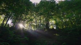 Los rayos del sol de la mañana brillan a través de los árboles en el tiro de Steadicam del bosque almacen de metraje de vídeo