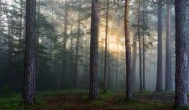 Los rayos del sol en un bosque del pino Fotos de archivo libres de regalías