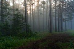 Los rayos del sol en un bosque del pino Foto de archivo libre de regalías