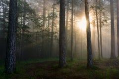 Los rayos del sol en un bosque del pino Fotografía de archivo