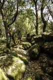 Los rayos del sol filtran a través de las ramas de la vegetación densa en el bosque con los cantos rodados musgo-cubiertos fotos de archivo
