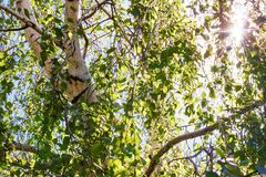 Los rayos del sol hacen su manera a través de las hojas verdes del abedul Imagen de archivo