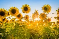 Los rayos del sol naciente que se rompe a través del girasol plantan el campo imagen de archivo libre de regalías