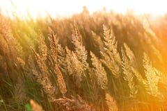 Los rayos del sol poniente en alta hierba fotos de archivo