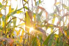 Los rayos del sol y la hierba del campo Imagen de archivo