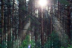 Los rayos pasados del sol en una arboleda del pino Foto de archivo libre de regalías