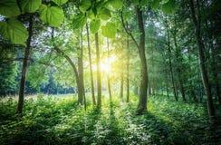 Los rayos solares que se rompen a través de las hojas y de la corona del árbol S Foto de archivo