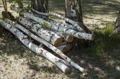Los registros del abedul derribaron árboles Imagen de archivo
