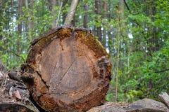 Los registros viejos derribaron los árboles grandes, olvidados en el bosque fotos de archivo libres de regalías