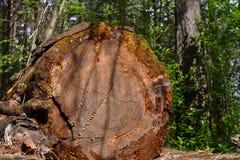 Los registros viejos derribaron los árboles grandes, olvidados en el bosque fotografía de archivo libre de regalías