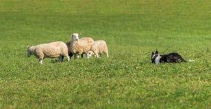 Los relojes del perro de ovejas y son mirados por el grupo de aries del Ovis de las ovejas Foto de archivo libre de regalías