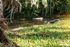 Los reptiles están caminando abajo de la charca Imagenes de archivo
