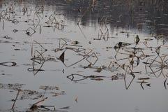 Los restos del loto en el río Fotografía de archivo libre de regalías