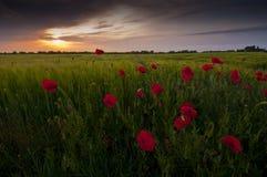 Los rheas rojos del Papaver de la amapola colocan y puesta del sol oscura Imagen de archivo libre de regalías