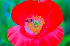 Los rhoeas del Papaver, los nombres comunes incluyen el campo común, maíz, maíz subieron, fi Fotos de archivo libres de regalías