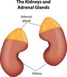 Los riñones y las glándulas suprarrenales Imagenes de archivo