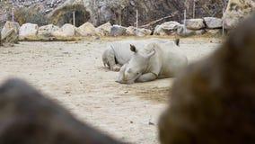 Los rinocerontes blancos puestos en el polvo y tienen un resto, animales en el parque zoológico, rinocerontes en el parque tropic metrajes