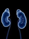 Los riñones humanos Foto de archivo