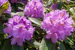 Los rododendros florecen en jardín botánico del ` s de Helsinki fotos de archivo libres de regalías