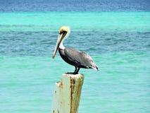 Los Roques karibisk strand: Pelikan på kristallvattnet royaltyfri bild