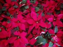 Los rote Weihnachtsblumen Nochebuenas Lizenzfreies Stockfoto