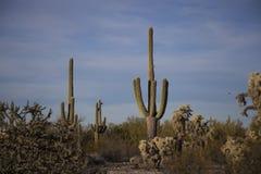 Los Saguaros en los barrancos del sudoeste Arizona abandonan Foto de archivo libre de regalías