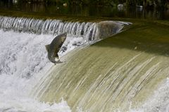 Los salmones que saltan contra la corriente en una presa del río Fotografía de archivo