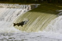 Los salmones que saltan contra la corriente en una presa del río Fotografía de archivo libre de regalías