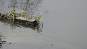 Los sapos nadan en la charca cerca del registro almacen de metraje de vídeo