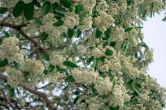 Los scholaris del Alstonia florecen la planta fotografía de archivo