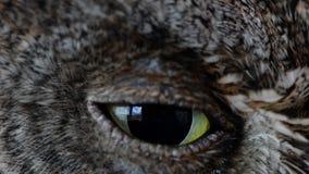 Los scops europeos del Otus del búho de scops se cierran encima de ojo del centelleo almacen de metraje de vídeo