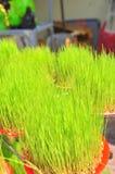 Los seedings afortunados del arroz están para la venta en la calle en el Año Nuevo lunar vietnamita tradicional Imagen de archivo libre de regalías
